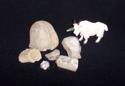 Mountain Goat Fossils