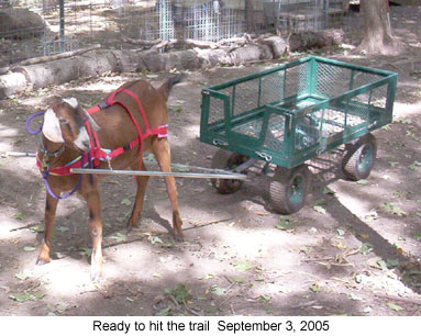 Can You Train A Goat Like A Dog